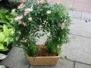 ミニバラアーチ鉢植
