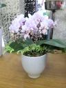 観葉植物入りコチョウランミニ