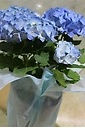 西洋紫陽花~ブルー~