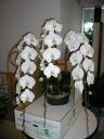 胡蝶蘭鉢 ホワイトエンジェル