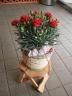 母の日 カーネーション鉢 赤