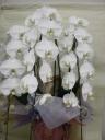 胡蝶蘭の鉢