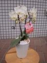 ミニの胡蝶蘭の鉢