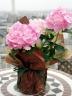 アジサイ(鉢物) ピンク 5寸鉢