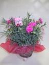 母の日 カーネーション鉢 ピンク