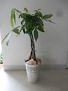 観葉植物~パキラ~