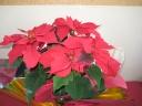 クリスマスの赤い花
