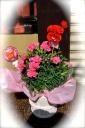 ♪母の日スペシャル♪ カーネーション鉢 ピンク