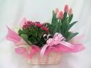 サイネリア(P)とチューリップの寄せ鉢