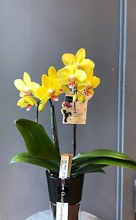 胡蝶蘭(ナオミゴールド)
