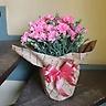 母の日の贈り物に♪【カーネーションの鉢・ピンク】