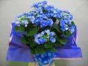 母の日・こだわりフラワー・フェアリーアイ・ブルー