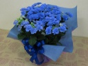さわやかなブルー☆ハイドランジア・フェアリーアイ