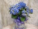ハイドランジア チボリ 青 5寸鉢