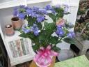 ハイドランジア(ハッピーダンスパーティー)青5寸鉢
