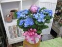 ハイドランジア(スターリットスカイ)5寸鉢