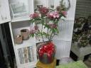 カルミア(オスボレッド)6寸鉢