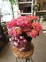 ハイドランジア カーリースパークル ピンク 5寸鉢