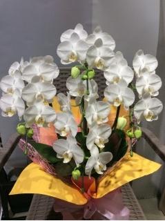 白色*ミディー胡蝶蘭