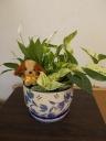 観葉植物・寄せ植え・ポトス・スパティ陶器セット