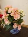 ピンクと白の二色植えリーガルベコニア陶器鉢セット