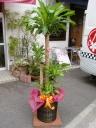 観葉植物 マッサン(幸福の樹) 10号鉢
