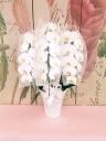 胡蝶蘭の鉢物 ≪3本立ち≫