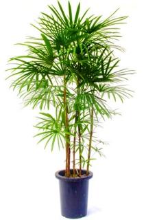 観葉植物 『 シュロ竹 』