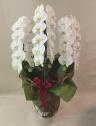 胡蝶蘭の鉢 白3本立
