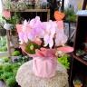 ミニ胡蝶蘭ほんのりピンク2F