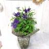 クレマチスさのの紫