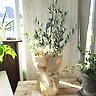 オリーブの木ピクアル