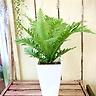 観葉植物ヒリュウシダ