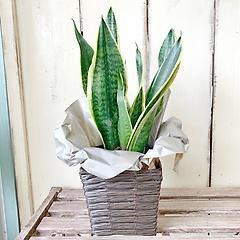 サンセべリア(サンスベリア)鉢カバー付き