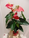 アンスリウムの花鉢です。