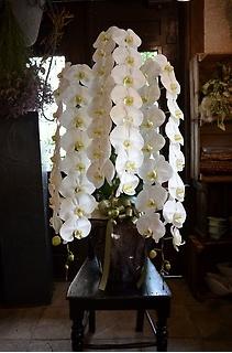 胡蝶蘭の鉢物