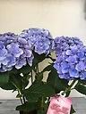 紫陽花(フェアリーキッス)