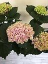 紫陽花(レボリューション)ピンク