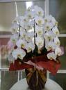 スタンダード 白胡蝶蘭3本立ち