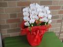 日持ち抜群のミニ胡蝶蘭の鉢植え・アマビリス3本立ち
