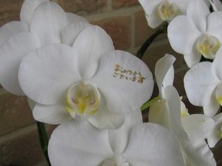 ミニ胡蝶蘭・ミディホワイト2本立ち へデラ寄せ植え
