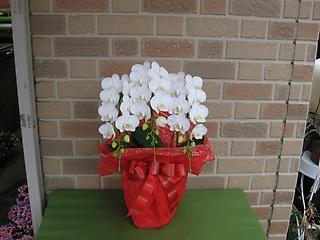 ミディ系胡蝶蘭の鉢植え・アマビリス3本立ち