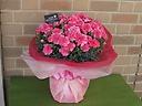 特選カーネーションの鉢植え・迫力の10号鉢ピンク