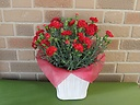 特選赤いカーネーションの鉢植え・5号鉢カバー付き