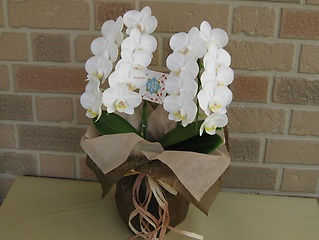 ミニ胡蝶蘭アマビリス2本立ち花びらメッセージ入り