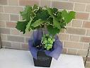 ブドウの鉢植え:藤稔 5号鉢カバー付き 1房付き