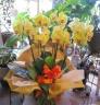 珍しい 黄色系胡蝶蘭 レモンハート 5~6本立ち