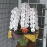 白胡蝶蘭3本立 ビクトリーホワイト55~60輪前後