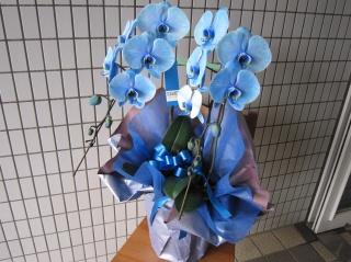 魅惑の青い胡蝶蘭 ブルーエレガンス 2本立