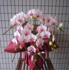 ミディー(中輪) ピンク系胡蝶蘭 5本立